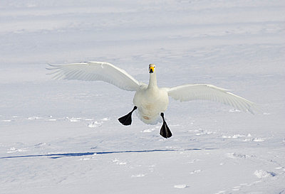 Whooper swan landing on the snow - p4422266f by Design Pics