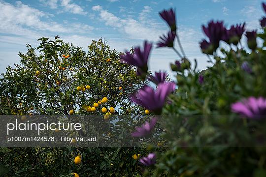lemon tree and purple flowers - p1007m1424578 by Tilby Vattard