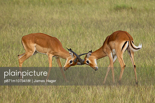 Two male impala (Aepyceros melampus) sparring, Serengeti National Park, Tanzania, East Africa, Africa - p871m1073418f by James Hager