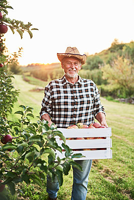 Fruit grower carrying full crate of apples in his orchard - p300m2166126 by gpointstudio