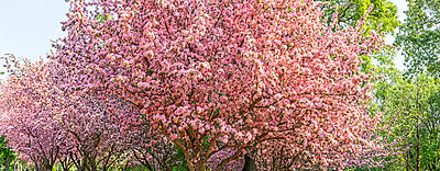 A cherry blossom tree in full bloom; Alberta, Canada - p442m1449098 by 770 Productions