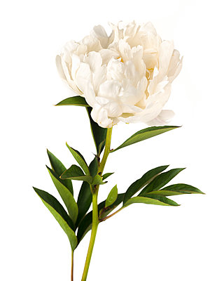 Flowering White Peony against White Background - p694m2068522 by Lori Adams