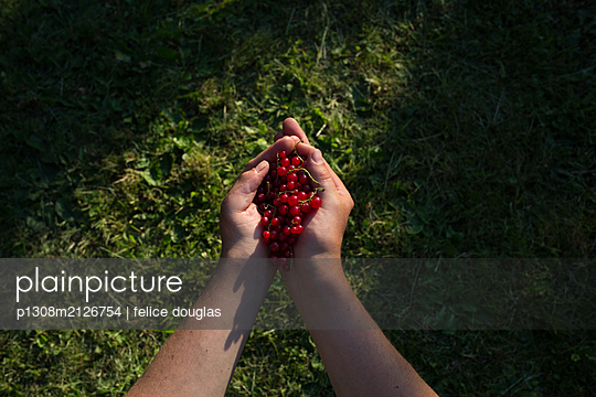 Currant harvest - p1308m2126754 by felice douglas