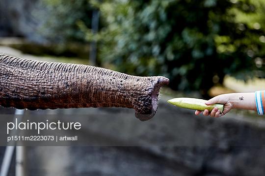 Einen Elefanten füttern mit einer Gurke - p1511m2223073 von artwall