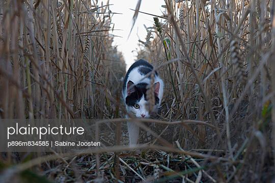 Cat in corn field - p896m834585 by Sabine Joosten