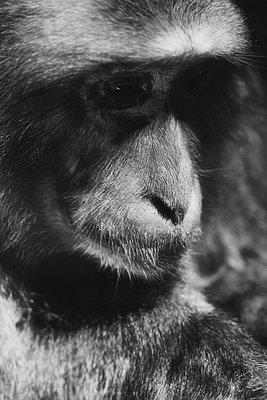 Trauriges Gesicht eines Affen - p1154m2297733 von Tom Hogan