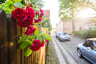 Red rose flowers, street on background - p312m1084383f by Mikael Svensson