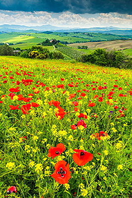 Field of Wildflowers Above Belvedere, Val d' Orcia, Tuscany, Italy - p651m2033654 by Tom Mackie