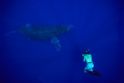 Humpback Whale photographed by free diver - p8840156 by Flip Nicklin