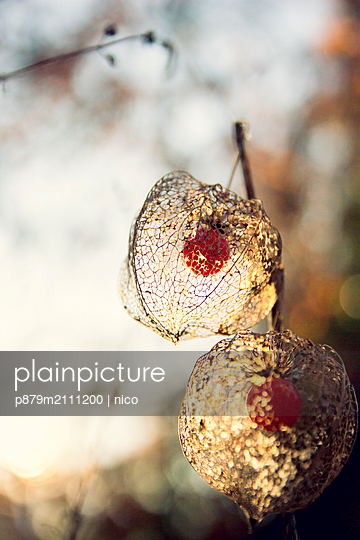 Physalis against the light - p879m2111200 by nico