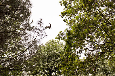 Squirrel jumping between trees - p1291m2193375 by Marcus Bastel