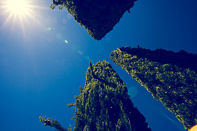 Cypress trees, Aix-en-Provence, France - p1598m2164407 by zweiff Florian Bier