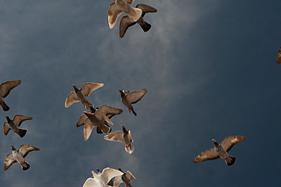 Flock of racing pigeons in flight - p1047m1044427 by Sally Mundy
