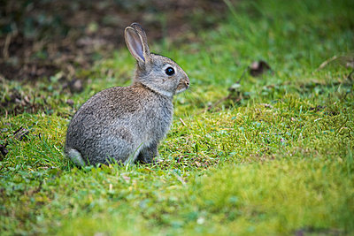 Side portrait of a baby rabbit on grass and moss. - p1433m2013891 by Wolf Kettler