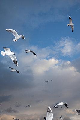 Birds on the sky - p1514m2063942 by geraldinehaas
