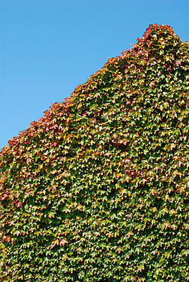 Green and red ivy - p6810057 by Sandrine Léon