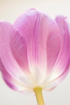 Up-close Macro Image of a Tulip - p1166m2088352 by Cavan Images