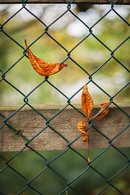 Leaves caught in wire fencing - p1690m2295278 by Marie Carr