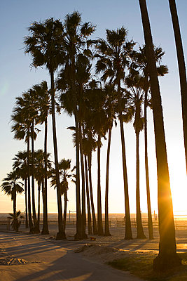 Palm Trees  Along Beach, Venice, California, USA - p6944129 by Karolina Henke