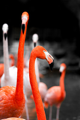 Flamingoes - p248m966407 by BY