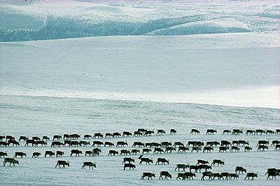 Reindeer walking in lines - p575m1074949f by Kate Karrberg
