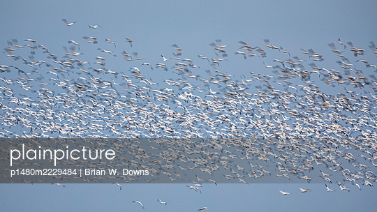 Flock of blurred snow geese in front of a blue sky - p1480m2229484 by Brian W. Downs