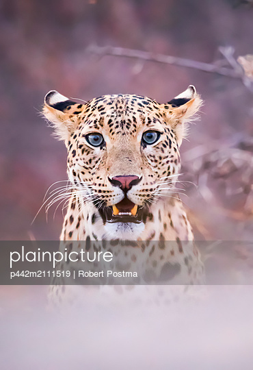 Portrait of a Leopard (Panthera pardus) obscured by fog technique, Northern India; Rajasthan, India - p442m2111519 by Robert Postma