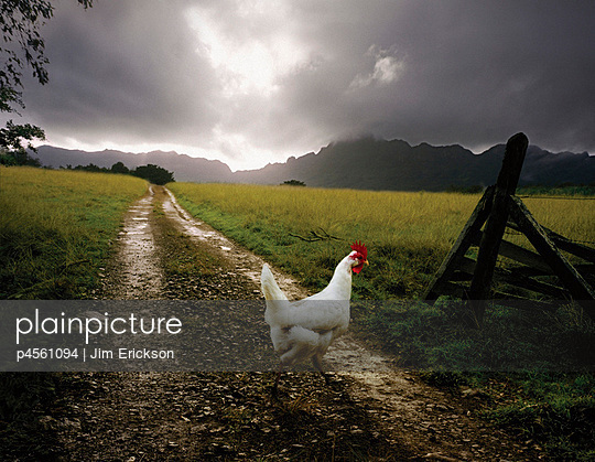 A chicken is standing on a path along a lush meadow. - p4561094 by Jim Erickson