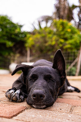 Border Collie x German Shepherd Puppy - p1655m2233661 by lindsay basson