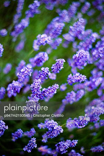 Lavender, close-up - p947m2193545 by Cristopher Civitillo