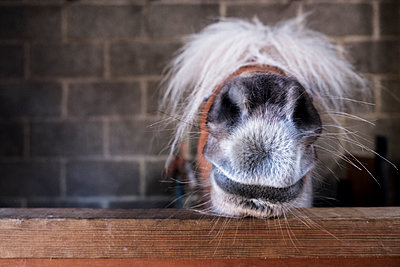 Close up of a Shetland pony's muzzle on the top of a stable door, with a white mane over it's eyes.  - p1100m2010523 by Mint Images