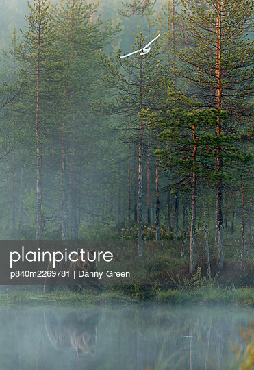 European brown bear (Ursus arctos) reflected in forest pond in evening mist with gull in flight, Finland, June - p840m2269781 by Danny Green