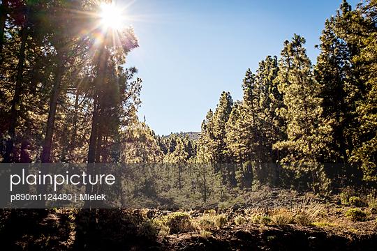 Wald, Teneriffa - p890m1124480 von Mielek