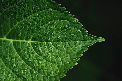 Close-up of water drops on leaf against black background - p1166m2065963 by Cavan Social