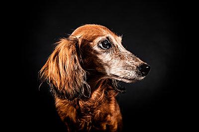 Hundeportrait - p713m2122316 von Florian Kresse