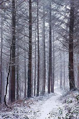 Footpath through a snow covered pine wood during a blizzard, Morchard Wood, Morchard Bishop, Devon, England, United Kingdom, Europe - p8713032 by Adam Burton