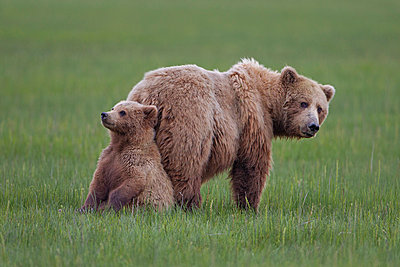 Grizzly Bear mother with cub - p884m864429 by Ingo Arndt