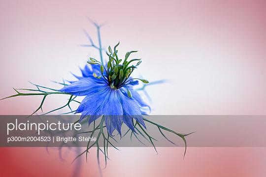 Love-in-a-mist - p300m2004523 von Brigitte Stehle