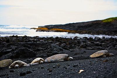 Wild Sea Turtles on Black Sand Beach in Big Island, Hawaii, - p579m2015583 by Yabo