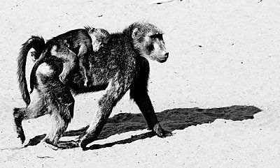 Baboon - p887m1124782 by Christian Kuhn