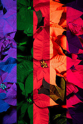 Colourful Poinsettias  - p919m2230930 by Beowulf Sheehan