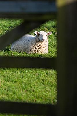 Einzelnes Schaf hinter einem Gatter - p1057m1491782 von Stephen Shepherd