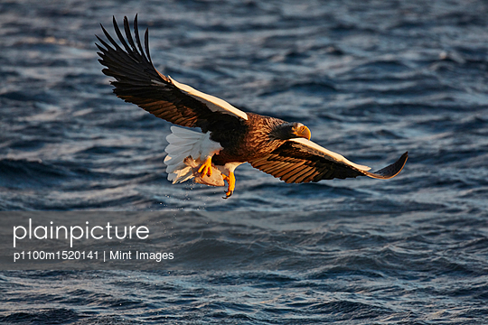 Steller's Sea Eagle, Haliaeetus pelagicus, hunting above water in winter. - p1100m1520141 by Mint Images
