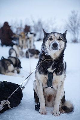 Schlittenhund - p1115m890229 von Nikolai Buroh
