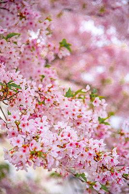 UK, England, London, Notting Hill, Ladbroke Grove, Cherry Blossom - p651m2062139 by Alan Copson