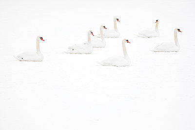 Mute Swan  group sitting on ice, Hazerswoude-Dorp, Netherlands - p884m1129354 by Misja Smits/ Buiten-beeld