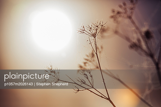 Plants in the morning mist backlit by the rising sun. - p1057m2026143 by Stephen Shepherd