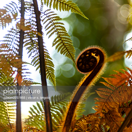 Fern against the light - p280m2237855 by victor s. brigola