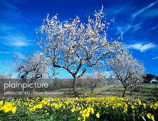 Almond flower - p885m1087431 by Oliver Brenneisen