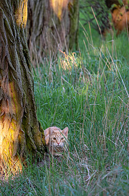 Cat hiding behind tree trunk - p739m2077198 by Baertels